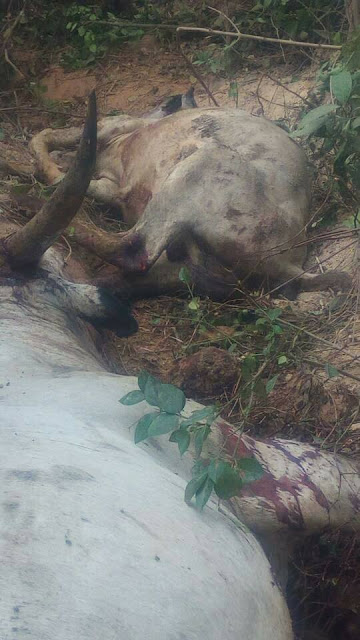 Fulani Herdsmen And Their Cows Reportedly Killed By Unknown Attackers In Plateau (Photos)