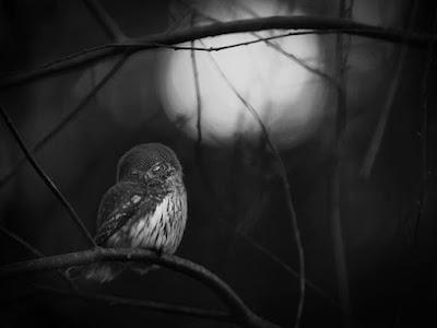 нічний птах