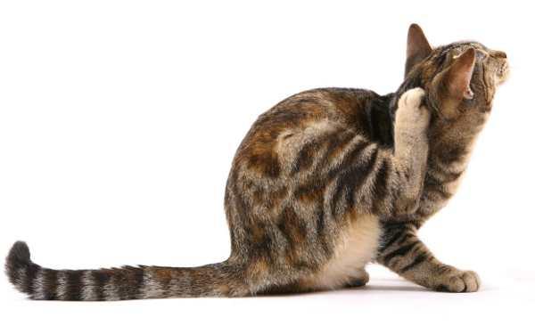 Inilah 6 Cara Menghilangkan Kutu Kucing dengan Cepat