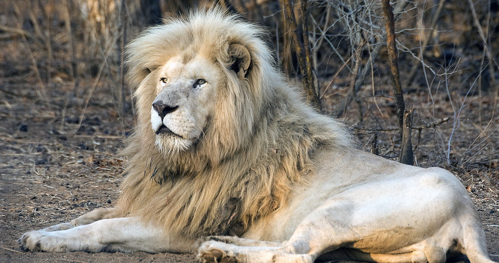 Lion Full Hd 1080p Wallpapers Latestwallpaper99