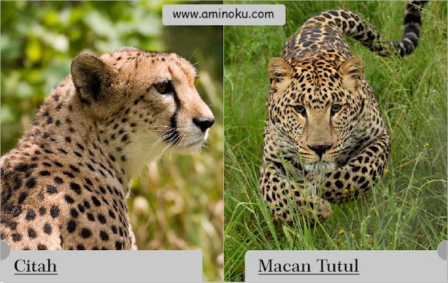 Perbedaan antara citah dan macan tutul