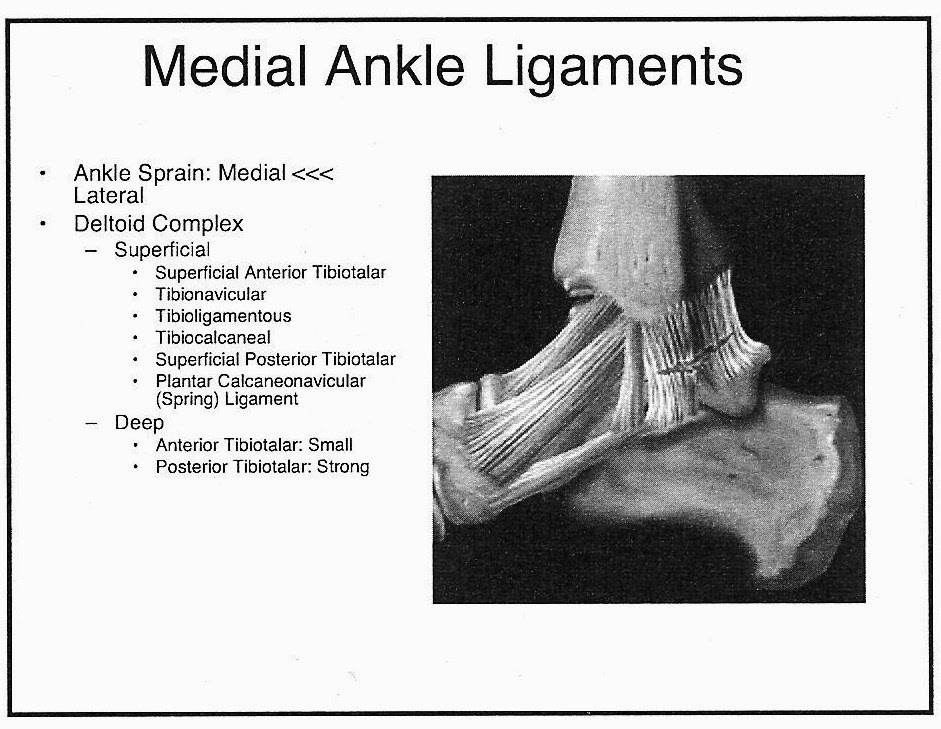 Medial Ankle Ligaments The Medial Ankle Ligaments