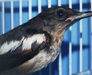 Cara Akurat Agar Burung Kacer Bahan Anakan Cepat Makan Voer Paling Lengkap