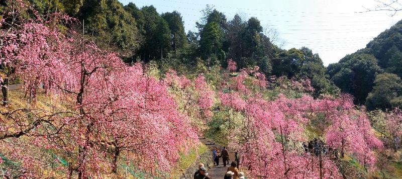 人文研究見聞録:大縣神社の梅園