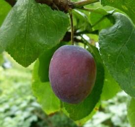 nutrisi untuk membuat buah menjadi manis dan legit