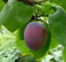 ramuan nutrisi untuk membuat buah menjadi manis