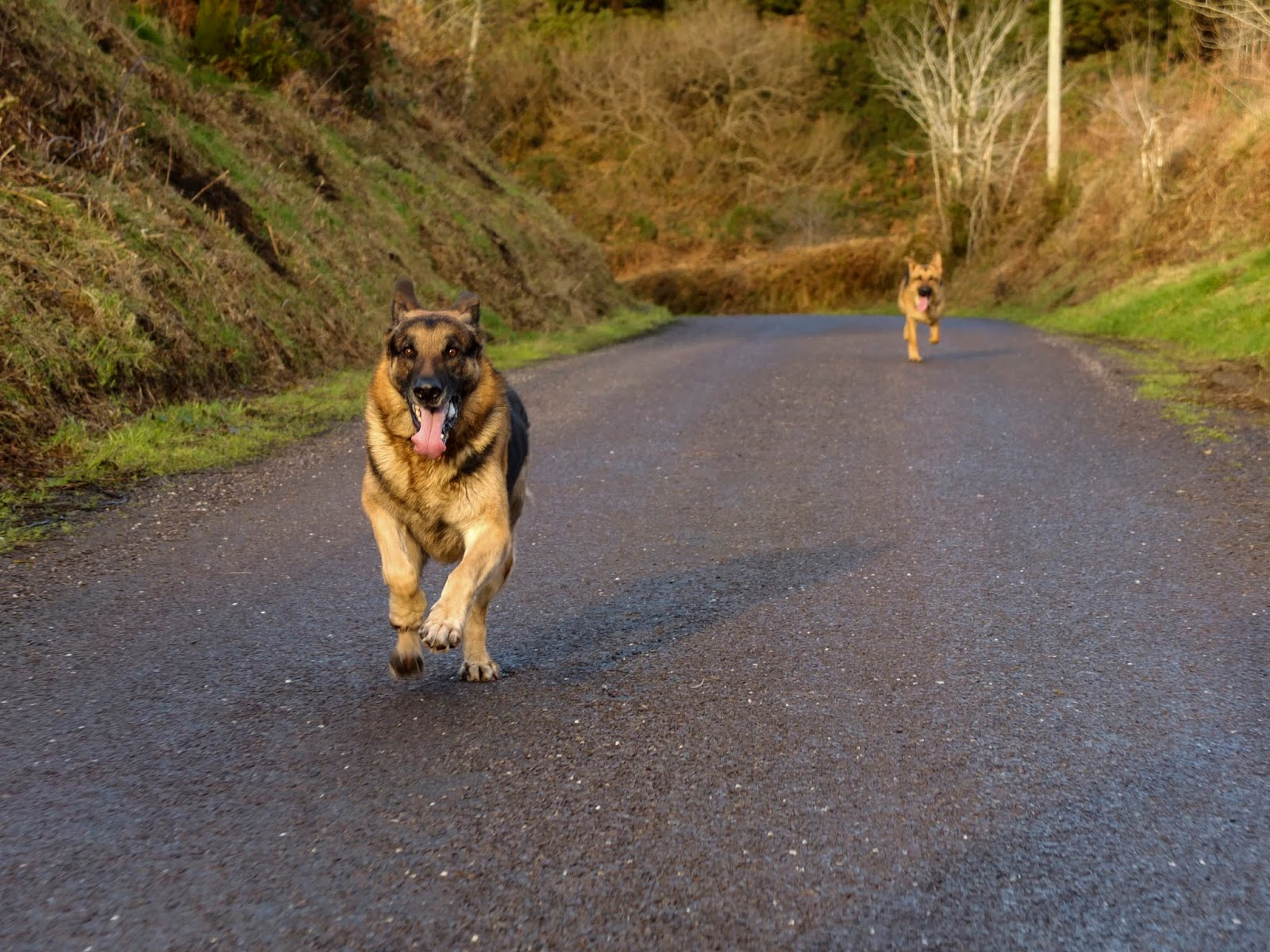 Two German Shepherds racing on a road in the mountains.