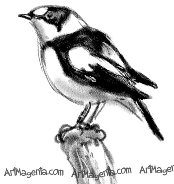 Collared Flycatcher  sketch painting. Bird art drawing by illustrator Artmagenta