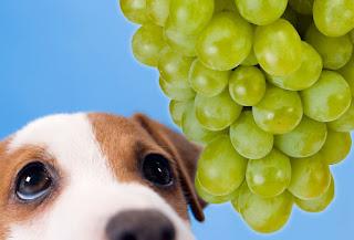 veterinaria online intoxicacion con uvas y pasas en perros