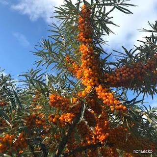 シーベリーの木