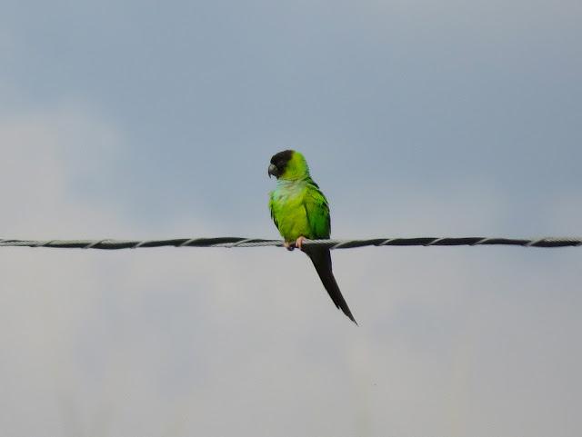 Nanday Parakeet - Tierra Verde, Florida