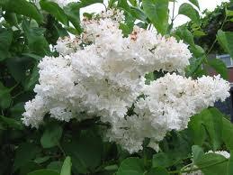 Artomega Kisah Bunga Warna Putih
