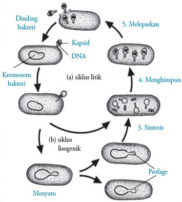 Reproduksi Virus secara Litik dan Lisogenik