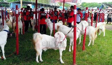 Kontes kambing di GOR Lumajang