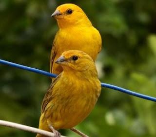 Memilih Bibit Burung Kenari