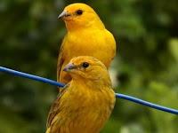 4 Hal Penting Memilih Bibit Burung Kenari Ternak