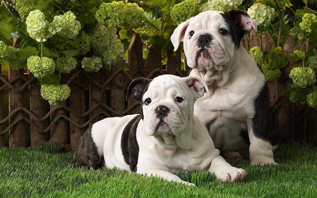 Foto van twee lieve honden op het gras