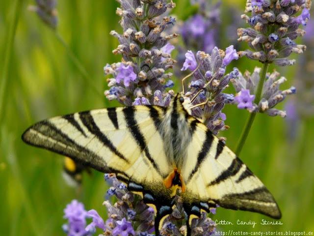 Schmetterling Frankreich