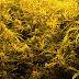 Detenida en Alcaudete con 91 plantas de marihuana