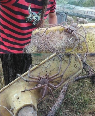 This Is The Biggest Spider Recorded and The Entire World is Freaking Out!