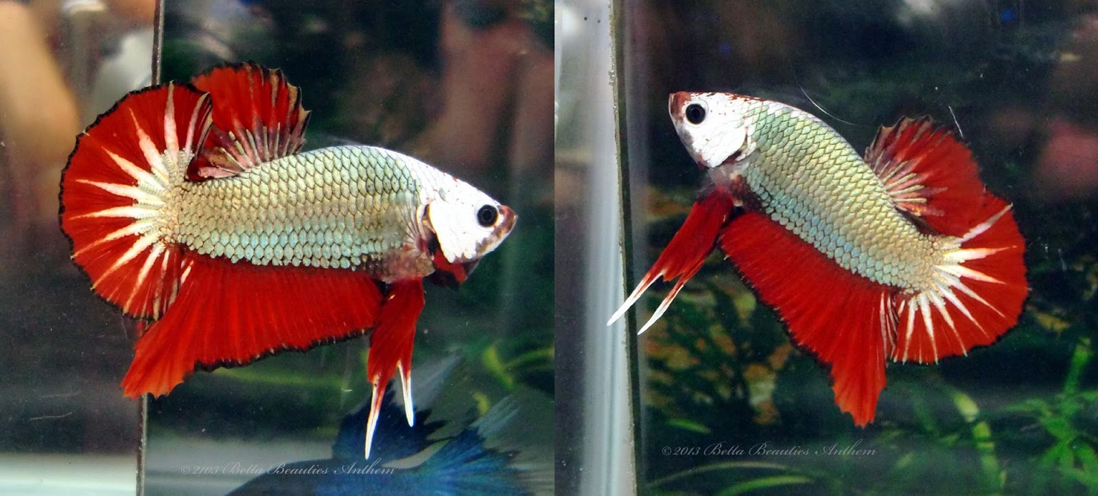 PG's Betta Store: HMPK Halfmoon Plakat Cooper Red Monster