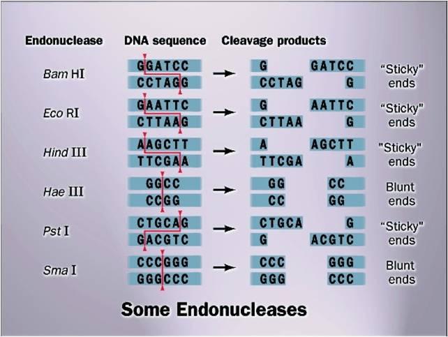 Resultado de imagen para tabla enzimas de restriccion