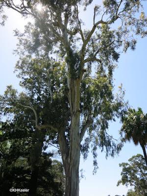 Eucalyptus, Australia
