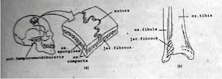 sendi sutura di tengkorak manusia