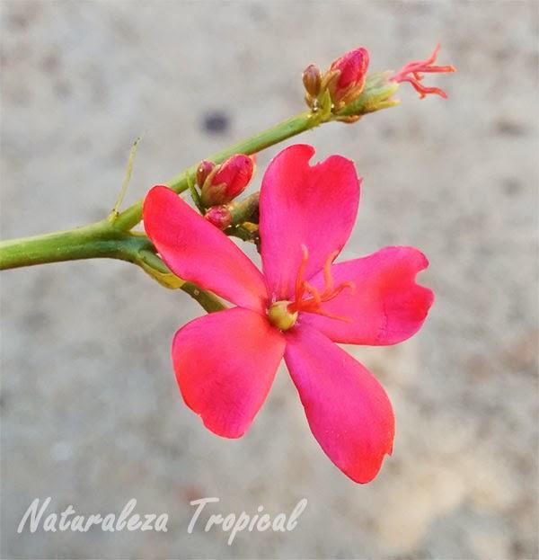 Foto de flor femenina de la planta Peregrina, Jatropha integerrima