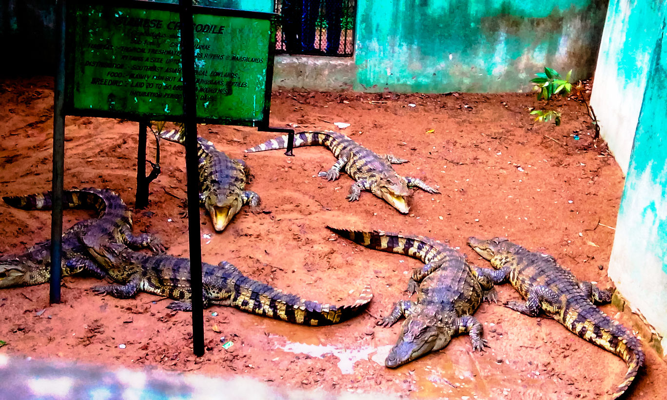 Alligators at the Nandankanan zoo