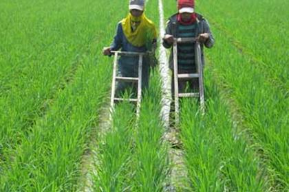 Beberapa Cara Pemberantasan Gulma/Rumput Dalam Pertanian