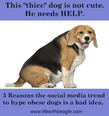Thicc beagles are not cute. They need help.