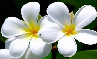 Macam Macam Jenis Bunga Kamboja Seputar Dunia Pertanian