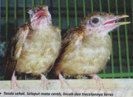 Burung Cucak Jenggot - Harga Mencapai 10 Juta Untuk Anakan Burung Cucak Jenggot Umur 10 Bulan Kok Bisa? - Penangkaran Burung Cucak Jenggot