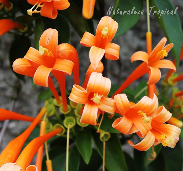 Flores de cerca de la Liana de Fuego, Pyrostegia venusta