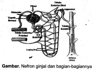76 Gambar Nefron Ginjal Beserta Bagiannya Terbaik