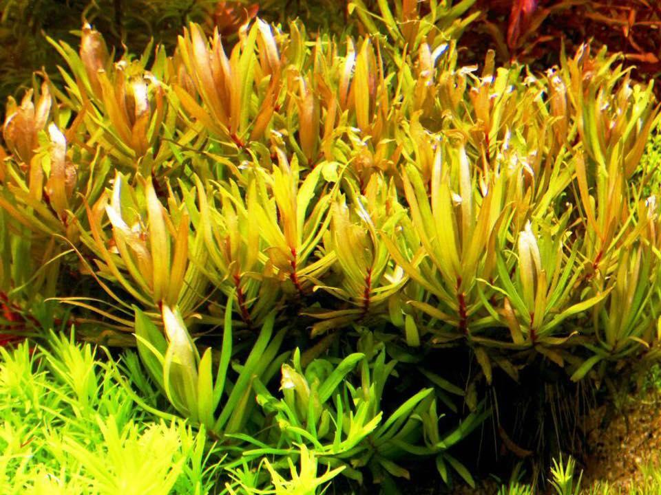 Cận cảnh vẻ đẹp của cây thủy sinh Hoàng Hồng Thảo