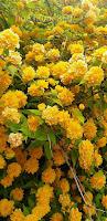 bông hoa hồng tầm xuân màu vàng