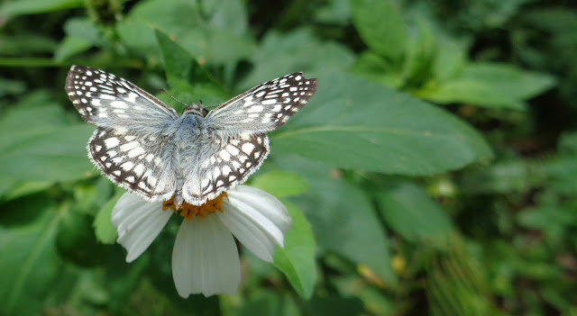 Checkered skipper at Long Key Natural Area and Nature Center in Davie, FL