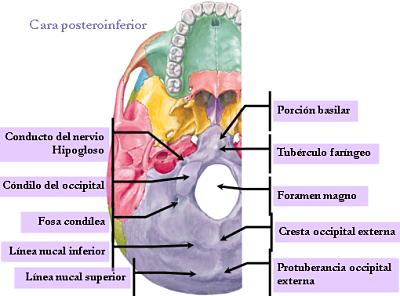 MediEstudy: Occipital bone  MediEstudy: Occ...