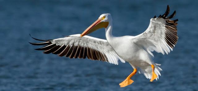 Pelicano y aves
