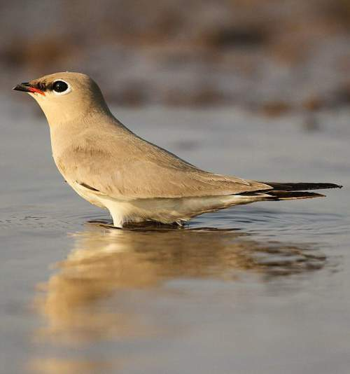 Birds of India - Photo of Small pratincole - Glareola lactea