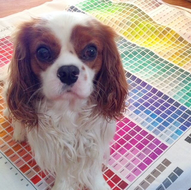 Blenheim Cavalier King Charles Spaniel on Spoonflower fabric color sample