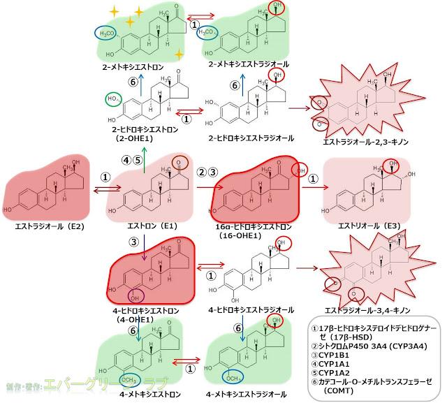 エストロゲンの代謝経路 ヒドロキシステロイドデヒドロゲナーゼ CYP COMT エストロン