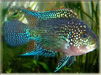 Jack Dempsey Fish Pictures