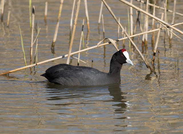Red-knobbed Coot - S'Albufera Natural Park, Mallorca