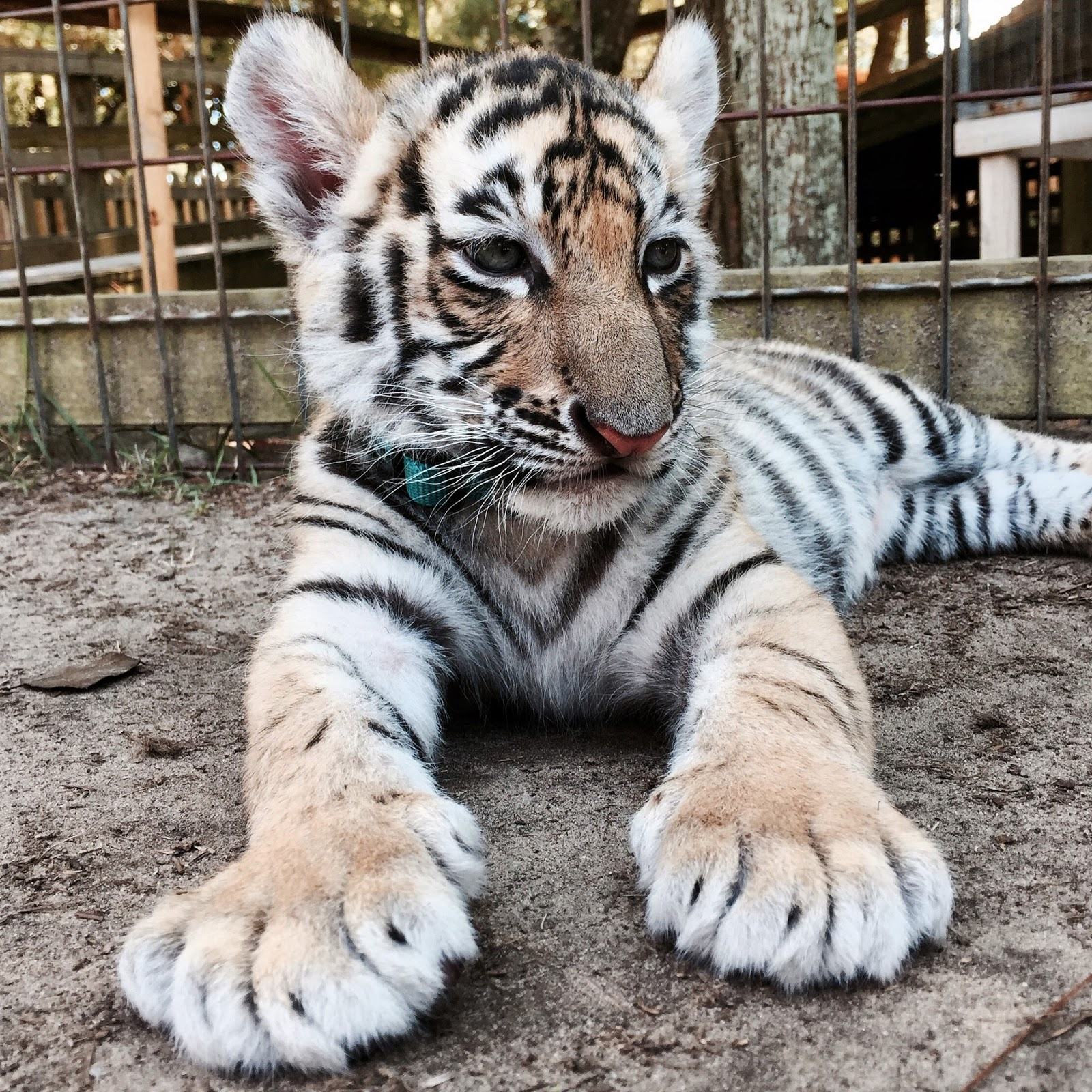 live your poem baby tigers