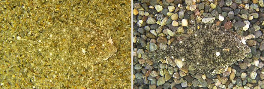 Stone Flounder