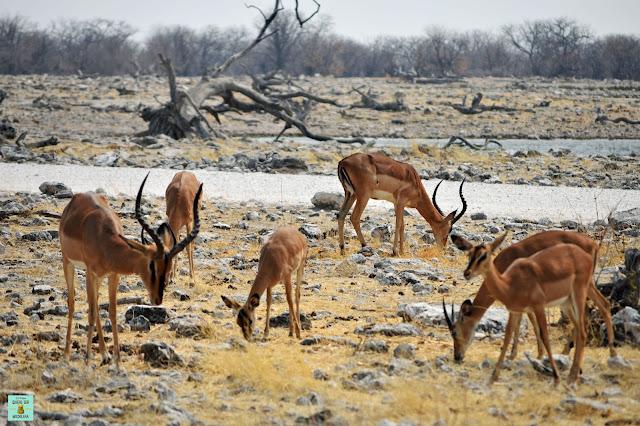 Impalas en Parque Nacional de Etosha, Namibia