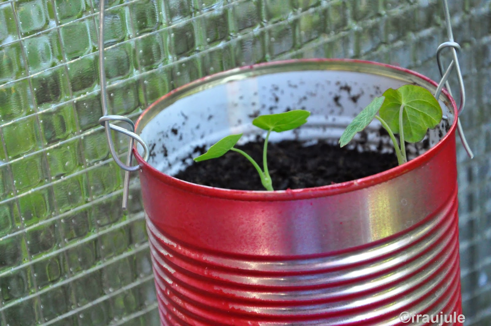 wächst kapuzinerkresse im wasser